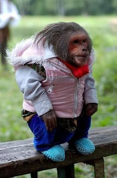 #44 of the list of things you never see in real life: An extremely stylish monkey