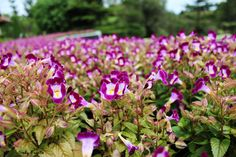 purple  #pinterest #flowers #nicepic #canon