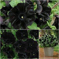 black-velvet-petunias