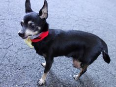 SUPER URGENT AZALEA – A1047734  FEMALE, BLACK / TAN, CHIHUAHUA SH, 10 yrs STRAY – STRAY WAIT, NO HOLD Reason STRAY Intake condition UNSPECIFIED Intake Date 08/13/2015, From NY 10458, DueOut Date 08/16/2015,