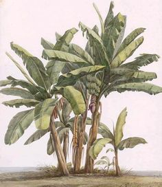 """Olímpia Reis Resque: Riqueza vegetal """"...As mais belas árvores crescem em todos os jardins; vêm-se aí mangueiras colossais (Mangifera indica, Linn.), que dão uma sombra densa e excelente fruto, os coqueiros de estipe alto e esguio, as bananeiras (Musa) em cerradas touceiras,..."""". Texto de Maximiliano, príncipe de Wied-Neuwied (1782-1867). Ilustração da Bananeira (Musa paradisíaca) de  L. von Panhuys. Waterclours of Surinam (1811-1824). No Blog!"""