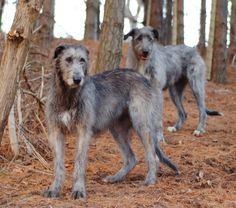 Irish Wolfhound @Janie Berry