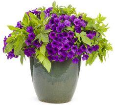 planta - supertunia indigo charm with sweet potato vine - beautiful! Easy to grow!
