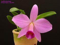 Laelia praestans Linden & Rchb.f.   Flickr - Photo Sharing!