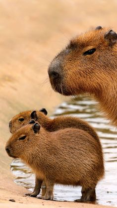 Capybara, Hydrochoerus Hydrochaeris, is a semi-aquatic rodent of South America. It weighs about a hundred pounds, and is about 2 feet tall at the shoulder.