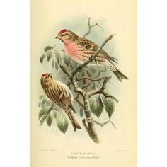 Birds of the British Islands 1885 Redpoll Lesser Canvas Art - John G Keulemans (24 x 36)