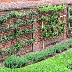 Espalier Fruit Trees, Fruit Tree Garden, Dwarf Fruit Trees, Growing Fruit Trees, Garden Trees, Trees And Shrubs, Growing Tree, Potager Garden, Veg Garden