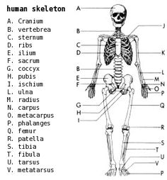 free human anatomy printables | science resources for, Skeleton