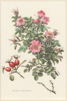 1960 Vintage Botanical Print Sweetbriar Rose Rosa by Craftissimo