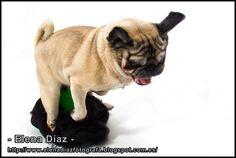 A Pug dog jumping - Carlino saltando