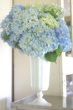 blue hydrangea perfection