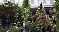 Der Rosengarten von Peter Beales Roses Ltd auf der diesjährigen Chelsea Flower Show nimmt langsam Gestalt an. Das Bild verdanken wir Simon White.