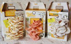 Kit permite que crianças e adultos cultivem cogumelos orgânicos em casa