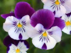 Los pensamientos son flores ideales para los balcones de casa.