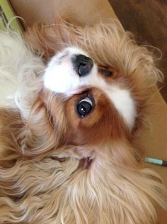 Cavaliers are so silly