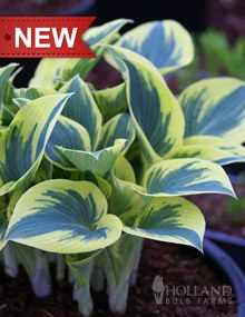 "First Frost Hosta: Height: 14-16"" Bulb Size: No 1 Perennializing: Yes Grow In Containers: Yes Hardiness Zone: 3 - 8 Suitable Zone: 3 - 9 Planting Time: spring Planting Depths: 1-2"" Planting Spacing: 24-30"""