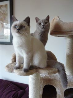 Our Diego & Bluelu Lilac & Bluepoint British Shorthair, the real ones!