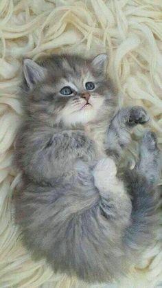 Gato fofo peludinho