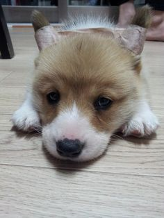 baby corgi - I don't know why his ears are taped - you do NOT need to do this !!!!