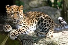 Amur leopard,  only 19 -  26 are known to exist in the world