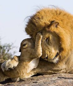 7 week old lion cub meets his dad for the first time También son gatos ¿no? Beautiful Cats, Animals Beautiful, Beautiful Family, Animals Amazing, Beautiful Babies, Big Cats, Cats And Kittens, Baby Animals, Cute Animals
