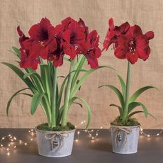 Big, vibrantly colored Red Lion Amaryllis blooms are the main feature, but the container in which the bulb is planted is almost equally endearing. It's galvanized metal, which is very attractive in its own right, but it's the little owl ornament on a jute string hanging on the front that makes it so captivating! Everyone will love it, and since Amaryllis are so easy to grow, it's a wonderful gift even for the kids in your life.