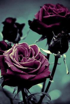 Purple Rose - We have beautiful flowers & Gifts which are sending to your friends, relatives and family members. Love Rose, My Flower, Pretty Flowers, Rose Violette, Colorful Roses, Purple Roses, Black Roses, Black Flowers, Shades Of Purple