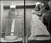 Quality article on Harlow's psychological experiment on monkeys that demonstrated the importance of love and attachment. Great way to get students thinking about the necessity and ethics of psychological experimentation on animals and humans.