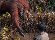 Orangutan extends hand to 'rescue' man in snake-infested water during safari in Borneo. Animals Images, Cute Animals, Animal Pictures, Borneo Orangutan, Orangutan Monkey, Helping Hands, Jane Goodall, Natural World, Cat Memes
