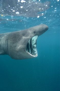 Basking Shark | Basking Shark Pictures - Cetorhinus maximus images