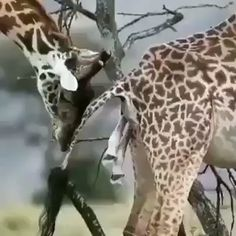 ・・・ Fancy your first few seconds of life being a metre drop to the ground 😂 Giraffes always give birth while standing up so it's quite a hectic start to life for these lanky legends 🦒😍 . 🎥: Unknown Photographer, dm for credit 👌🏽 . Funny Animal Videos, Cute Funny Animals, Cute Baby Animals, Giraffe Pictures, Animal Pictures, Nature Animals, Animals And Pets, Photo Animaliere, Rescue Puppies