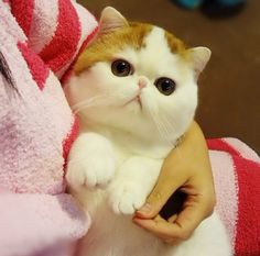 I want a cat like this!! I believe it's a Scottish Fold Munchkin Cat. Isn't this the cutest cat you've ever seen?!!