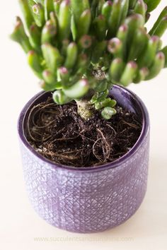 Place your succulent on the soil and cover some of the roots