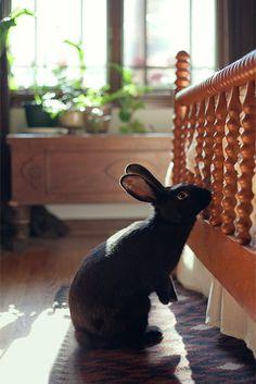 house rabbit (flemish giant)