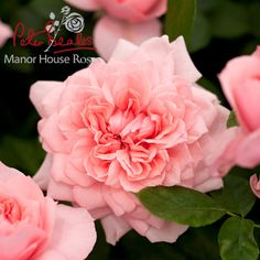 'Dunham Massey' Moder Classic Shrub Rose(2013 new roses introduced at Chelsea)