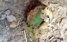 The naturally mummified macaw head found in the cave in Chihuahua, Mexico.