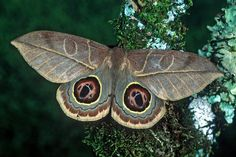 Leucanella hosmera Moth