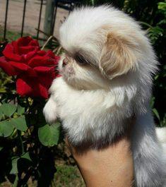 Everything About Playfull Shih Tzu Puppy Health #shihtzubaby #shitzucross #shihtzutraining