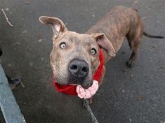 ***SAFE!!!!  4/6/18  Chloe is at-risk of euthanasia and needs placement. Please consider opening your home today! Hello, my name is Chloe. My animal id is #23945. I am a desexed female brown brindle dog at the Manhattan Animal Care Center. The shelter thinks I am about 1 years 6 months 1 weeks old.  I came into the shelter as a stray on 28-Mar-2018.  ******Reserved Someone has already placed a deposit on me. I'm no longer available.