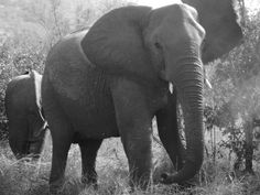 I want to touch a real live elephant... Preferably in South Africa :-)