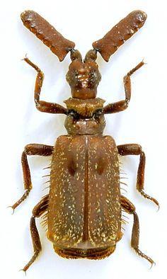 Paussus laosensis Maruyama & Nagel, 2016.