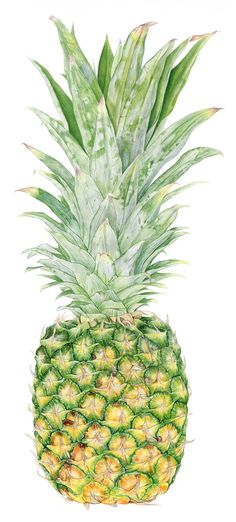 Pineapple Botanical Illustration  This is an archival print from my original watercolor painting  Printed on Hahnemuhle Fine Art paper using