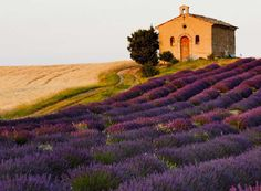 Who wants to frolic in a lavender field in  #Provence #France ?// (c) TravelAge West