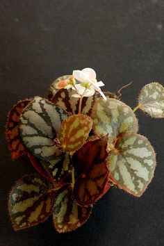 Begonia luzonensis by auris bego, via Flickr