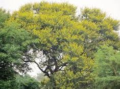 Acacia karoo - Google Search Acacia, Trees To Plant, Google Search, Plants, Tree Planting, Plant, Planets