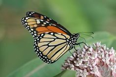 Milkweed plants are the sole host plants for Monarch butterflies. Here we discuss a few types of milkweed and Monarch preferences. Our plants and seeds are safe for butterflies!