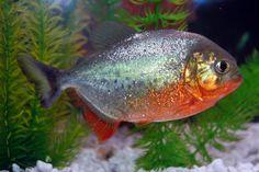 Alex the Red-Bellied Piranha