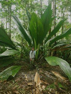 Joey palm (Johannesteijsmannia altifrons), Thailand, Malaysia, Sumatra, and Borneo