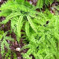 Maidenhair fern:  used to treat bronchitis,whooping cough,menstrual problems, hair loss, and is known to naturally darken hair color.