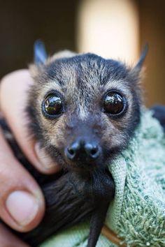 Yeah so my friends fruit bat is kinda cute? Beautiful Creatures, Animals Beautiful, Animals And Pets, Funny Animals, Baby Bats, Fruit Bat, Cute Bat, Tier Fotos, Cute Little Animals